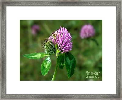 Clover - Wildflower Framed Print