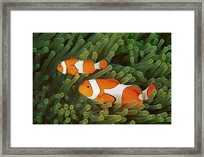 Clown Anemonefish Amphiprion Ocellaris Framed Print by Mark Spencer