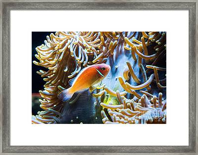 Clown Fish - Anemonefish Swimming Along A Large Anemone Amphiprion Framed Print by Jamie Pham