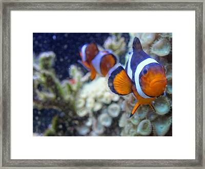 Clown Fish Couple Framed Print