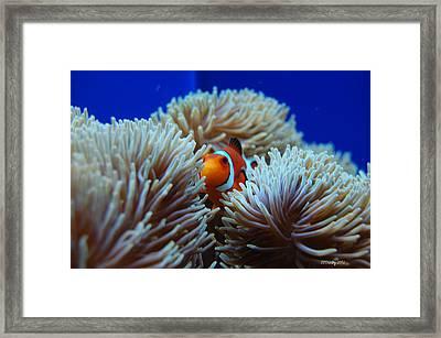 Clown Fish In Sea Anemone Framed Print