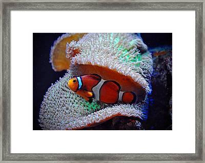 Framed Print featuring the photograph Clown Fish by Savannah Gibbs