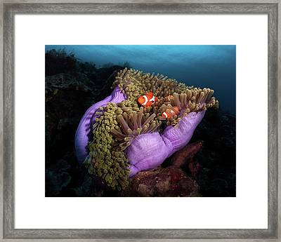 Clown Fish With Magnificent Anemone Framed Print