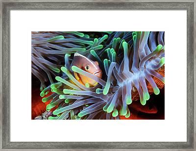 Clownfish Framed Print by Barathieu Gabriel