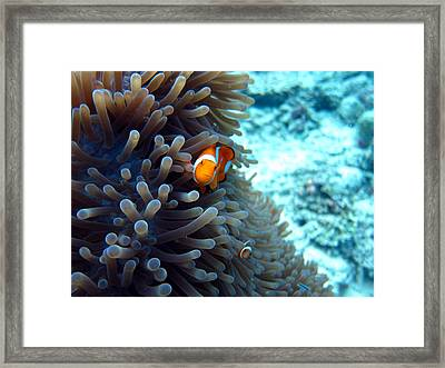Clownfish Borneo Framed Print by Laura Hiesinger