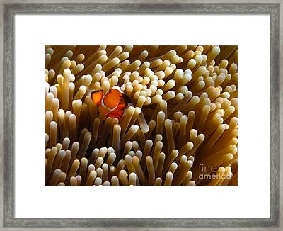 Clownfish Hiding In Coral Garden Framed Print