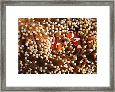 Clownfish In Coral  Framed Print by Fototrav Print