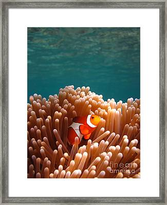 Clownfish In Coral Garden Framed Print by Fototrav Print