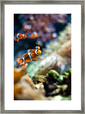 Clownfish  Framed Print by Ulrich Schade