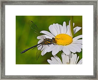 Clubtail Dragonfly On Oxeye Daisy Framed Print