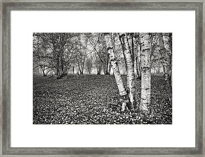 Clumping Birch Trees And Fog Framed Print