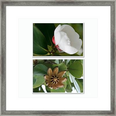 Clusia Rosea - Clusia Major - Autograph Tree - Maui Hawaii Framed Print by Sharon Mau