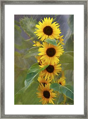 Cluster Of Sunflowers Framed Print by David Simons