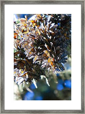 Clustering Monarch Butterflies Framed Print by Patricia Sanders