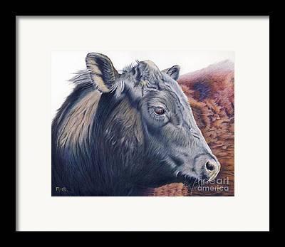 Black Angus Drawings Framed Prints