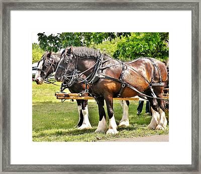 Clydesdale Horses Framed Print by Kim Bemis
