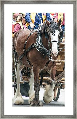 Clydesdale On Parade  Framed Print
