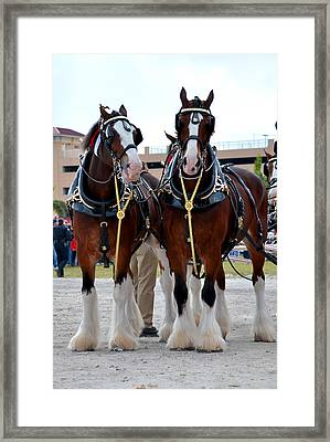 Framed Print featuring the photograph Clydesdales 3 by Amanda Vouglas