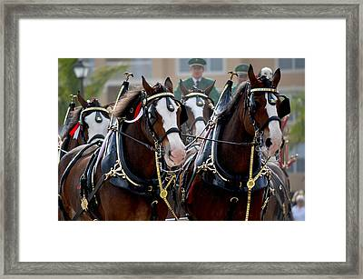 Framed Print featuring the photograph Clydesdales by Amanda Vouglas