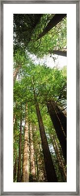 Coast Redwood Sequoia Sempivirens Trees Framed Print