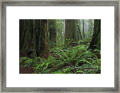 Coast Redwoods And Ferns In Redwood Framed Print by Yva Momatiuk and John Eastcott