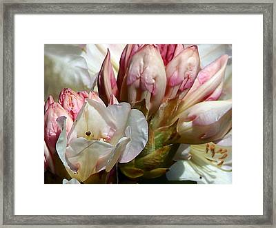 Coast Rhododendron Framed Print