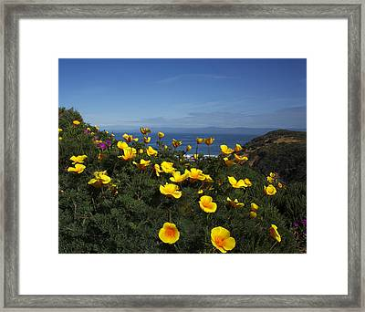 Coastal California Poppies Framed Print