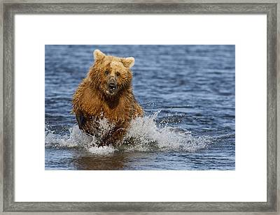 Coastal Grizzly Fishing In Hallo Bay Framed Print