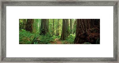 Coastal Sequoia Trees In Redwood Forest Framed Print