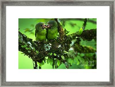 Cobalt-winged Parakeets Framed Print