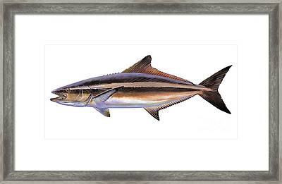 Cobia Framed Print by Carey Chen