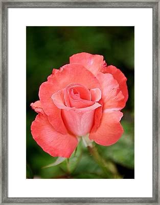Cobra Rose  Framed Print by Christine Till