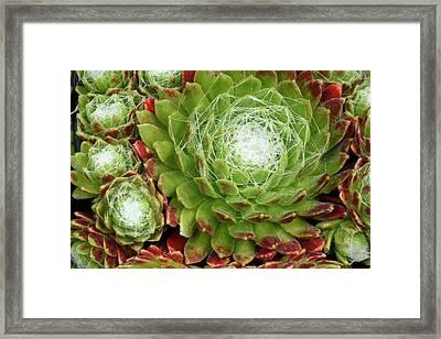 Cobweb Houseleek Framed Print by Nigel Downer