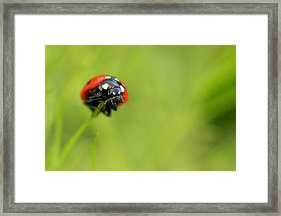 Coccinellidae  Framed Print