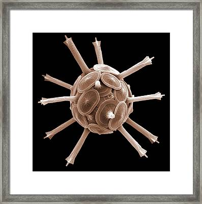 Coccolithophorid Plankton, Sem Framed Print by Science Photo Library