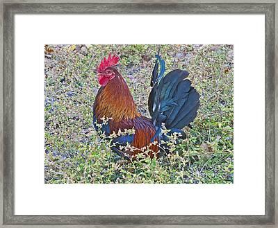 Cock-a-doodle-do Framed Print