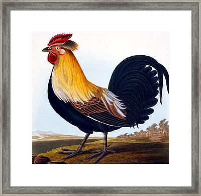 Cock Framed Print by CLE Perrott