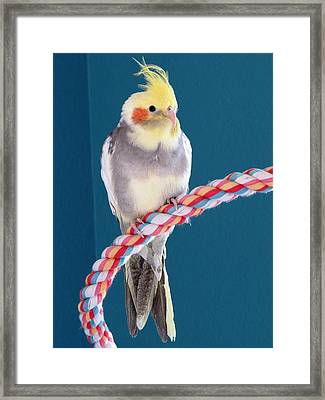 Cockatiel Framed Print