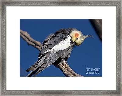 Cockatiel - Canberra - Australia Framed Print