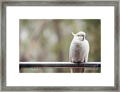 Cockatoo In Rain Framed Print by Tim Hester