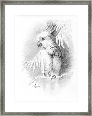 Cockatoo Pencil Study Framed Print by Minnie W Shuler