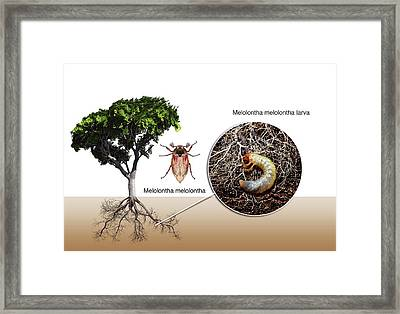 Cockchafer And Beech Tree Framed Print by Mikkel Juul Jensen