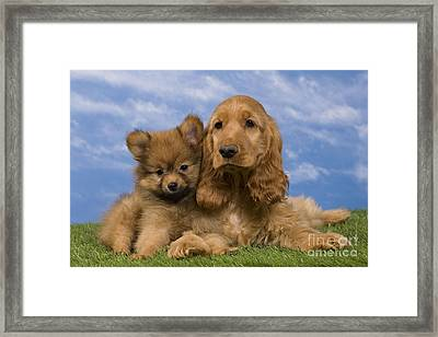 Cocker Spaniel And Pomeranian Framed Print by Jean-Michel Labat