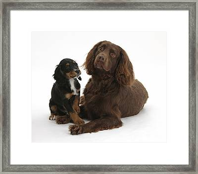 Cocker Spaniel And Tricolor Pup Framed Print by Mark Taylor