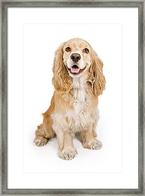 Cocker Spaniel Dog Isolated On White Framed Print by Susan Schmitz