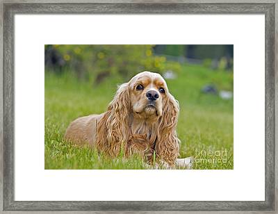 Cocker Spaniel Dog Framed Print by Rolf Kopfle