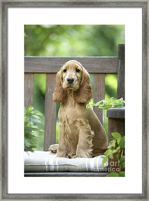Cocker Spaniel Framed Print by Jean-Michel Labat