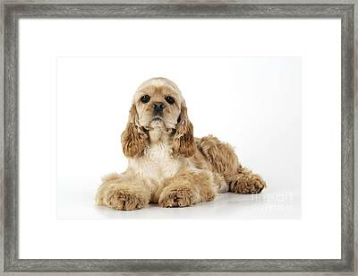 Cocker Spaniel Framed Print by John Daniels