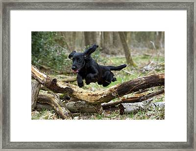 Cocker Spaniel Jumping Framed Print