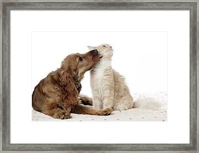 Cocker Spaniel Licking Cat Framed Print by John Daniels